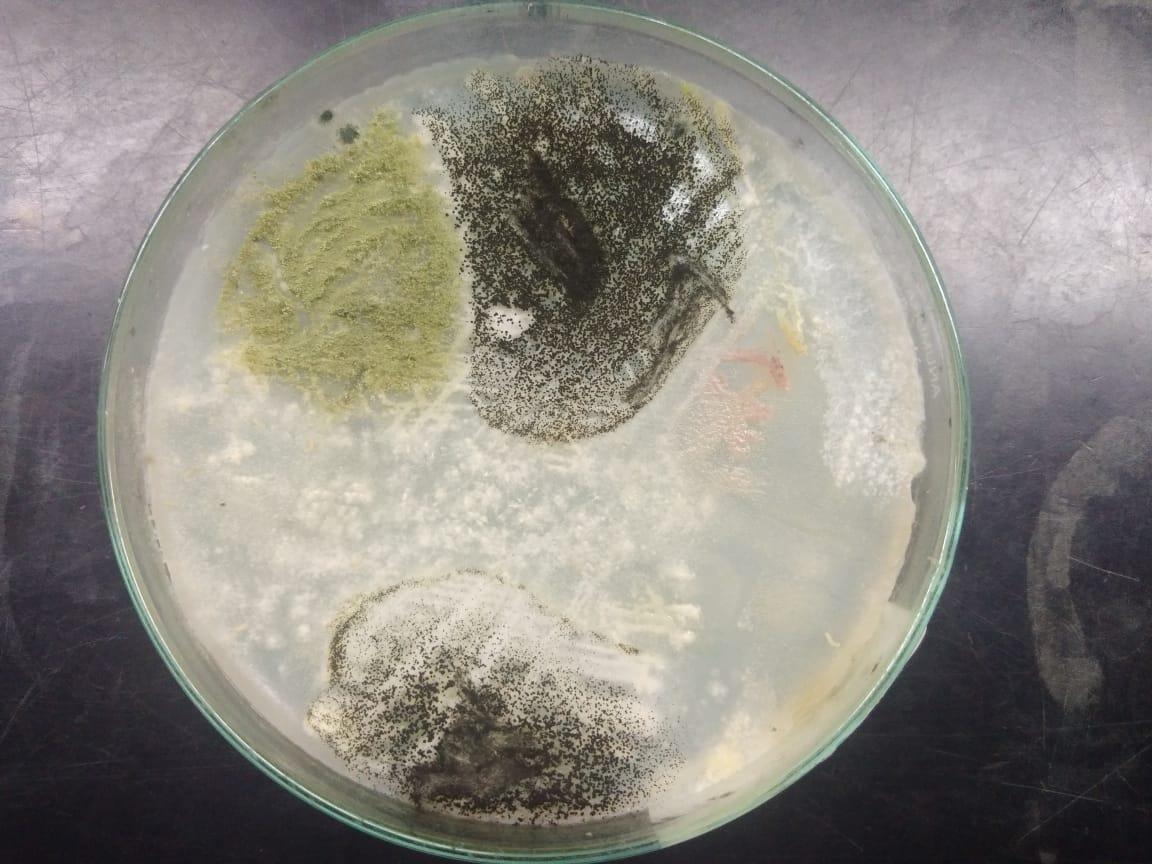 Aspergillus and penicilli