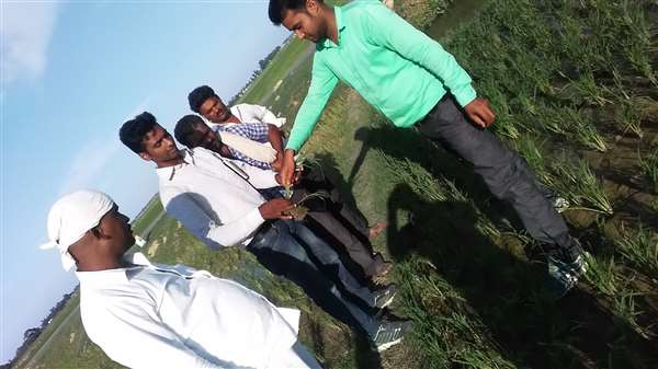 farmer concentrancy and guide.paddy crop