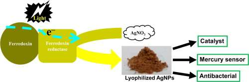Sunlight mediated synthesis of silver nanoparticles using redox phytoprotein and their application i