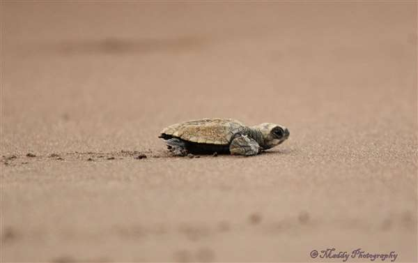 Baby turtle.