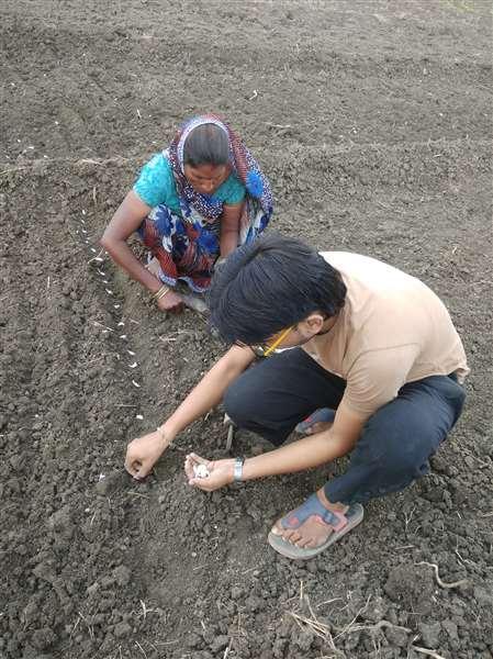 Garlic cloves cultivation